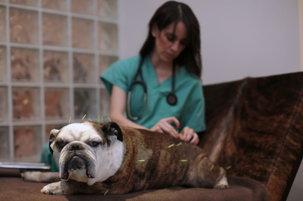 Does Your Dog Need Animal Acupuncture? This NYC Vet Thinks So