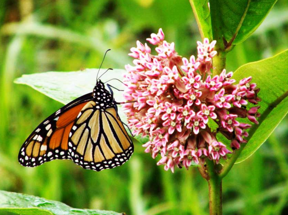 Beck Lone 'No' Vote on 'Milkweed for Monarchs' Bill