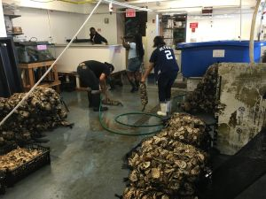 Summer interns cleaning oyster shells in the aquaculture lab on Governors Island. (Photo: Courtesy Billion Oyster Project)