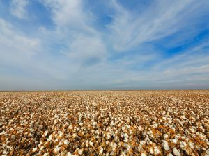 Supima Cotton field images PHOTO Terry O'Rourke
