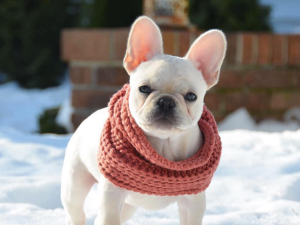 @princesslayla_thefrenchie wearing the Fab Dog Infinity Scarf.