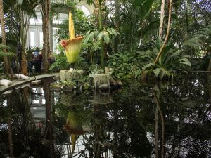 The New York Botanical Garden's corpse flower in bloom.