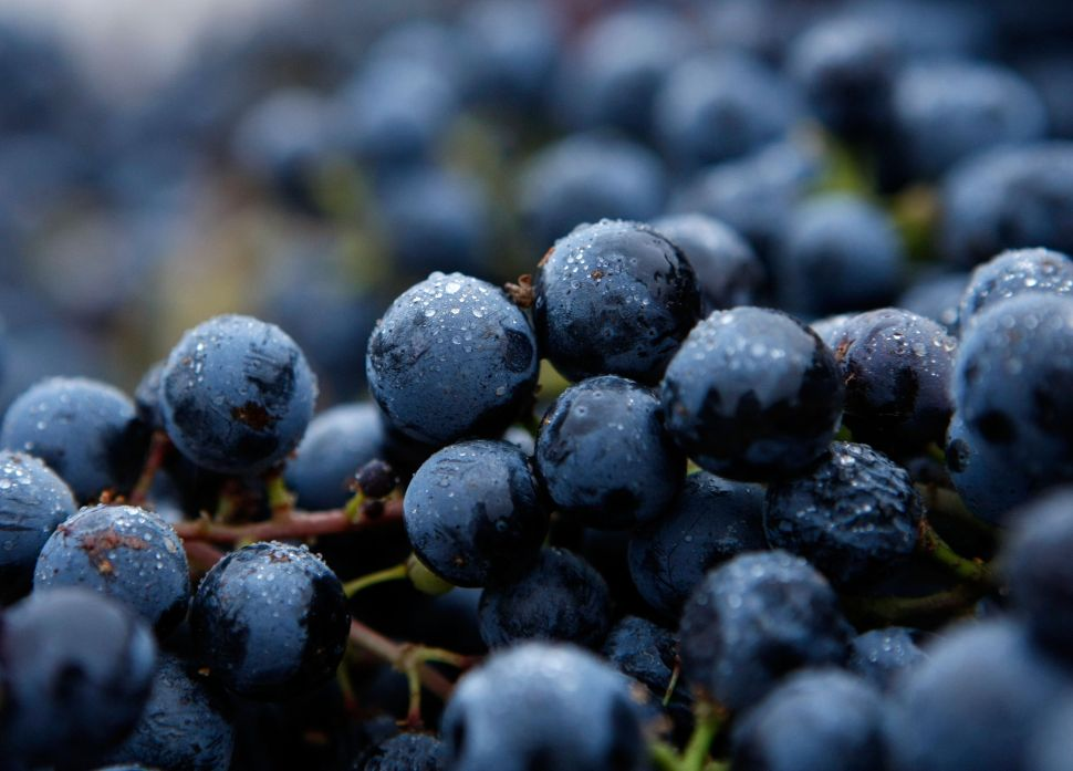 Doctor's Orders: Concord Grapes Can Improve Your Memory and Fight Cancer