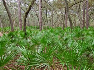 Saw palmetto Serenoa repens in forest in Manatee Springs State Park.