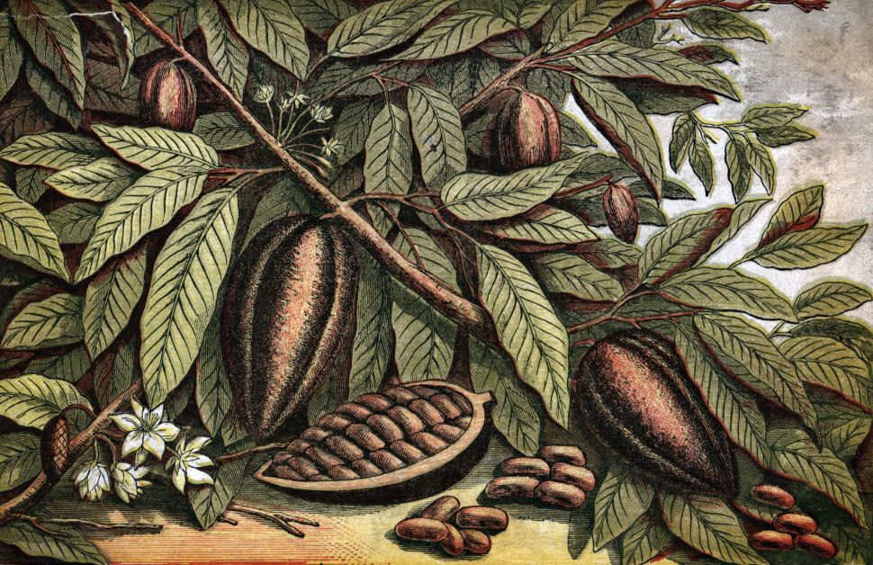 Doctor's Orders: Drink a Cup of Cocoa to Boost Your Brain