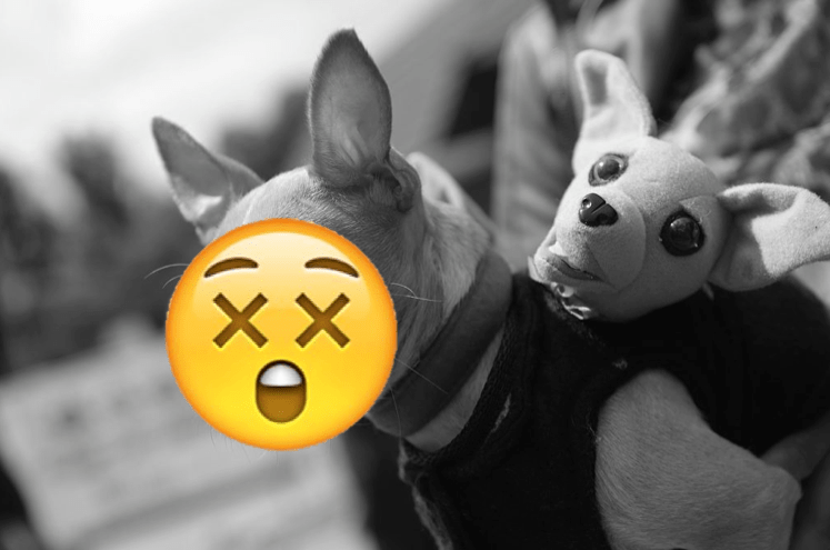 Dear Stranger: Is It Weird to Stuff My Pet Chihuahua After He Dies?