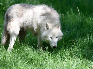 An arctic wolf is pictured at the Animal Park of Sainte-Croix in Rhodes, eastern France on May 25, 2016.