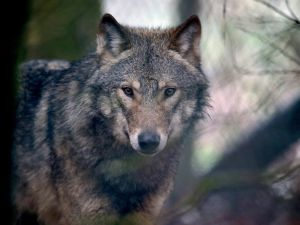 Wolves continue to be targeted though their population is shrinking.