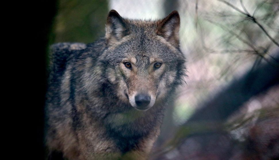 Fear and Misinformation Fuel Government Killings of Wolves
