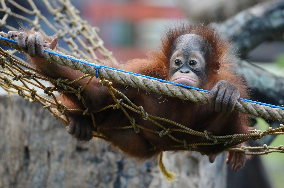 Scientists Warn Primates Face Impending Extinction Crisis