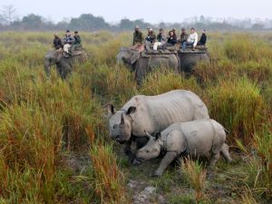 "In this photograph taken on February 21, 2012, tourists riding on elephants photograph a one-horned rhinoceros with her calf at the Kaziranga National Park, some 230 km from Guwahati, in India's northeastern state of Assam. A continuing decline in the quality of the rhino's habitat will affect the long-term survival of some of the smaller populations, said a report in the latest IUCN ""Red List"" of threatened species"". More than 400 plants and animals were added to a ""Red List"" of species at risk of extinction on October 17, 2012, raising the alarm as more than 70 environment ministers met for a global conference. AFP PHOTO/BIJU BORO/FILES (Photo credit should read STRDEL/AFP/Getty Images)"