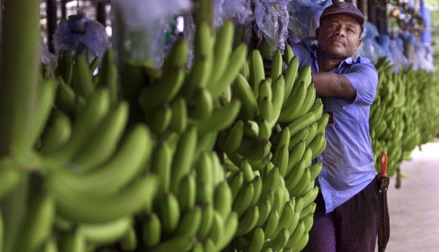 A worker at a multi-national banana company selects bananas for export in Uraba, Colombia.