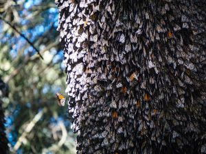 Monarch colony at Sierra Chincua Butterfly Sanctuary in Angangueo, Mexico.