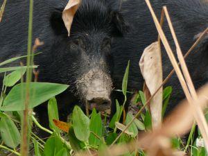 Texas has nearly three million feral pigs running wild.