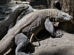 Two Komodo dragons.