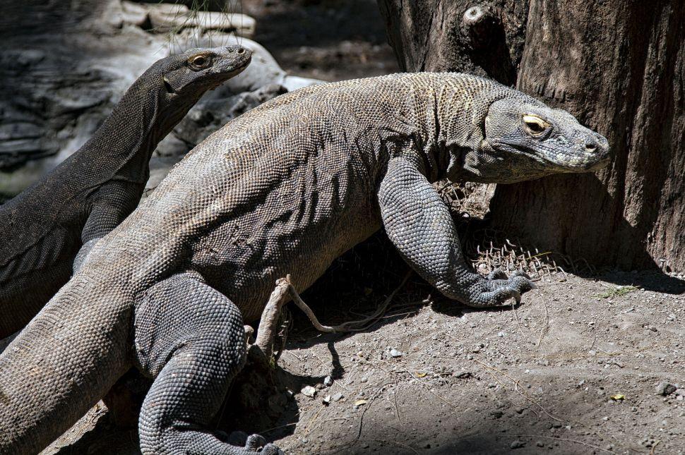 Komodo Dragon's Blood May Be Key to Antibiotic Resistance