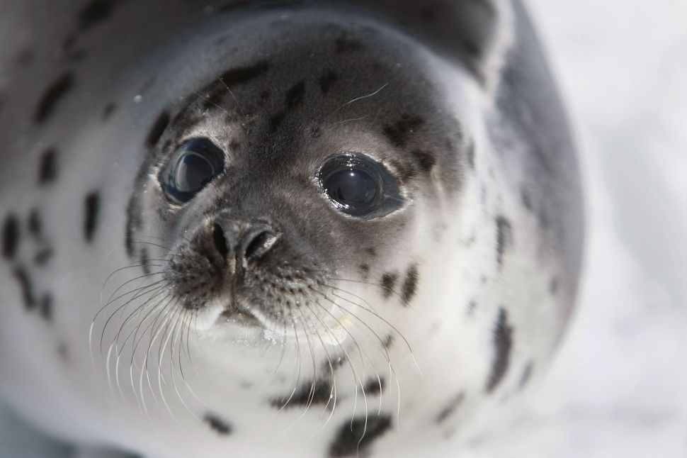 Canada Ignores Activists as Thousands of Baby Seals Face Slaughter in Outdated Hunt