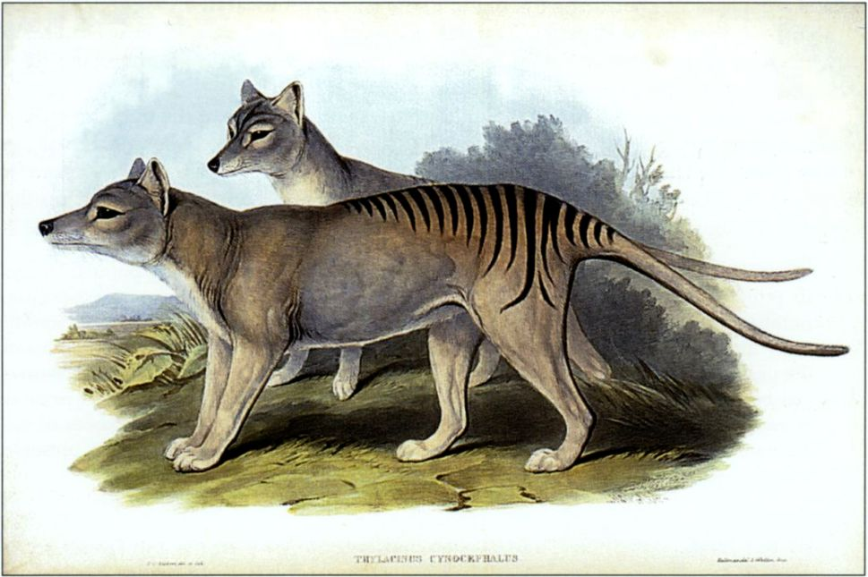 Why Scientists Are Resuming the Search for Extinct Tasmanian Tiger