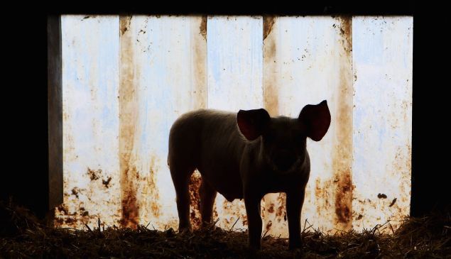 """George Orwell's """"Animal Farm"""" depicts a farm run by a collective leadership of pigs."""