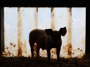 "George Orwell's ""Animal Farm"" depicts a farm run by a collective leadership of pigs."