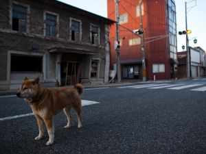 An abandoned dog is seen within the exclusion zone, about 6km away from Fukushima Nuclear Power Plant, on April 12, 2011 in Futaba Town , Fukushima Prefecture, Japan. Japan's nuclear agency today confirmed that the crisis alert level has been raised to level 7, indicating a level of radiation equal to that of the 1986 Chernobyl disaster.