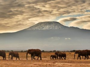A herd of elephants walk in front of Mount Kilimanjaro in Amboseli National Park.