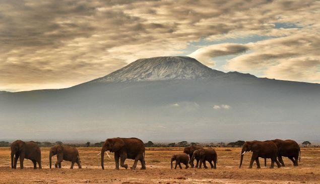 A herd of elephants walk in front of Mount Kilimanjaro in Amboseli National Park.