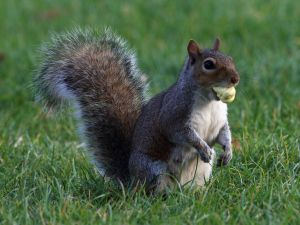 'Easties' supplanted the less adaptable native western gray squirrel in urban/suburban areas.