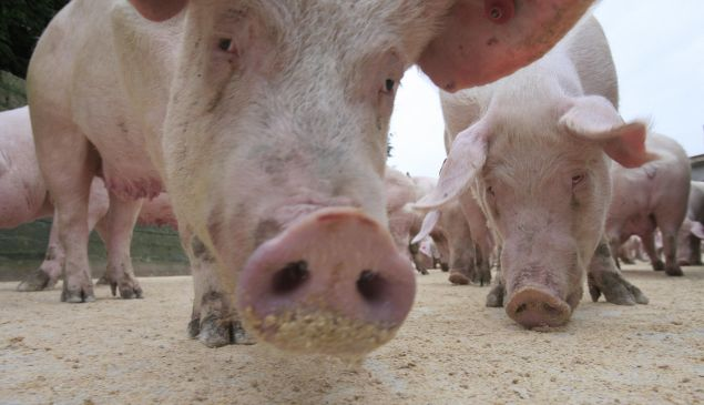 In some areas of North Carolina, hogs outnumber residents 40 to one.