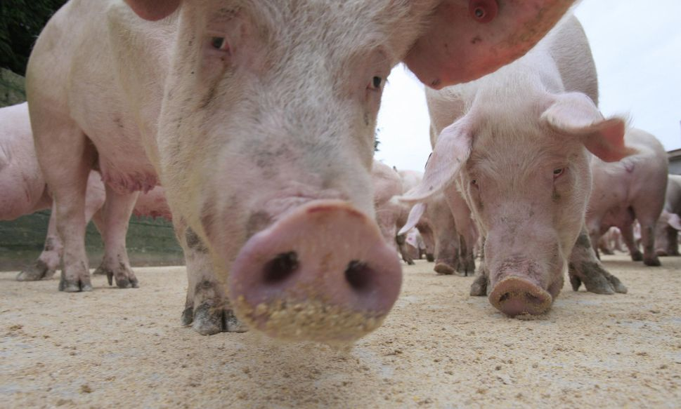 Feces From Hog Farming Is Poisoning Black Communities in North Carolina