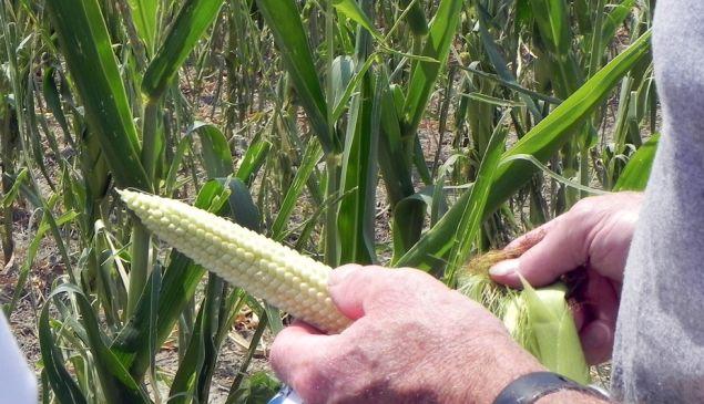 Drought-damaged corn on an Ohio farm, 2012.
