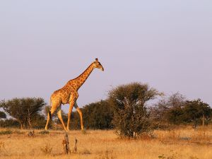 A giraffe walks across a savanna at the Mashatu game reserve in Mapungubwe, Botswana.
