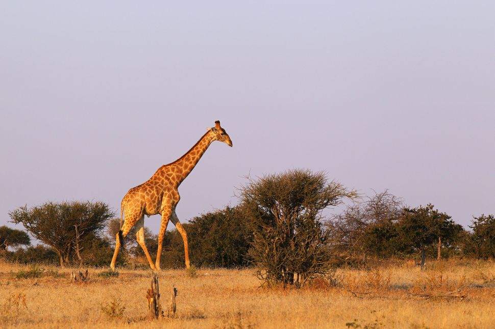 Global Giraffe Population Decimated by Trophy Hunting and Local Pressures