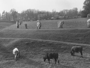 Cows grazing near a defensive dyke in front of an ancient circle of megalithic sarsen stones at Avebury, Wiltshire in 1956.