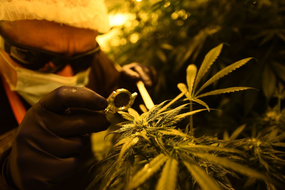 Why Cannabis Startups Are So Economically Potent
