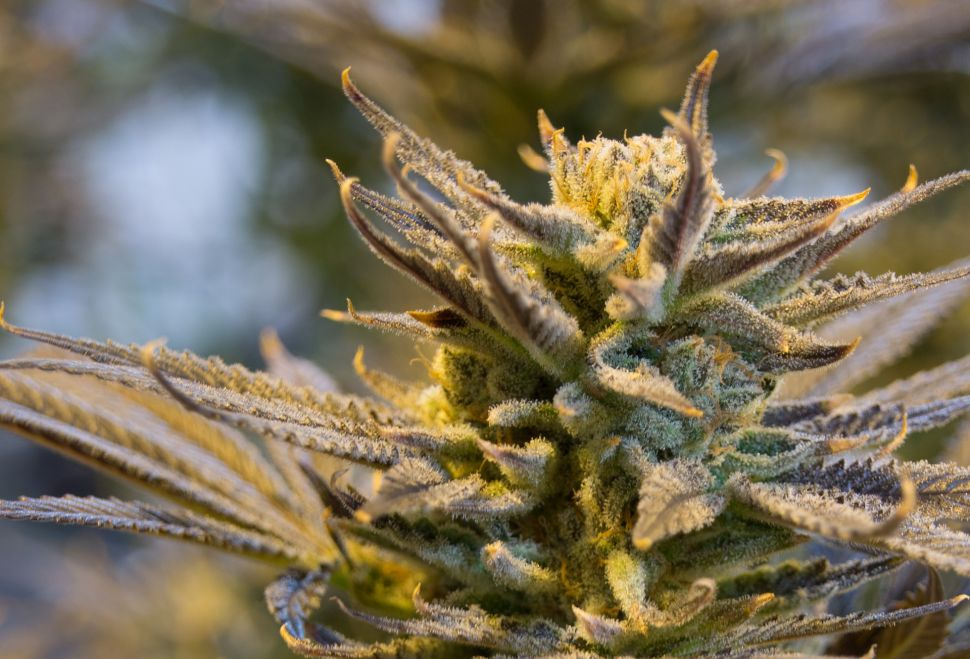 Pot With Patents Could Plant the Seeds of Future Lawsuits