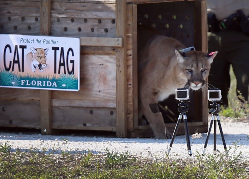 Ranchers and Developers Push to Remove Florida Panther From Endangered Species List