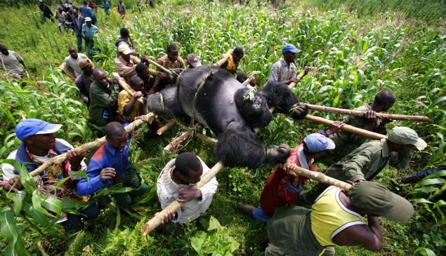 Conservation Rangers from an Anti-Poaching unit work with locals to evacuate the bodies of four Mountain Gorrillas killed in mysterious circumstances in Virunga National Park, Eastern Congo.
