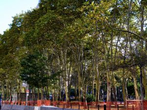 London plane trees, like these in Cadman Park in Brooklyn, New York, are one of the most popular species for shading urban streets.