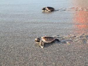Loggerhead sea turtles.