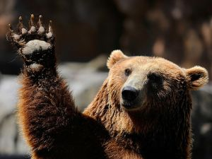 A grizzly bear waves at Madrid's zoo on July 7, 2010 on a hot summer day. AFP PHOTO/DANI POZO (Photo credit should read DANI POZO/AFP/Getty Images)