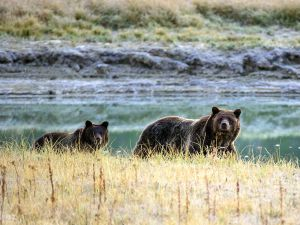 A Grizzly bear mother and her cub walk in the Yellowstone National Park in Wyoming.