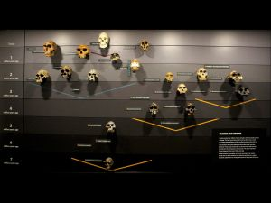 This wall of skulls in London's Natural History Museum show the evolution of human skulls over time.