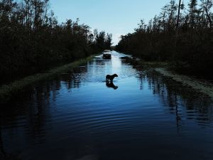 NAPLES, FL - SEPTEMBER 11: A dog walks through a flooded street in a rural part of Naples the day after Hurricane Irma swept through the area on September 11, 2017 in Naples, Florida. Hurricane Irma made another landfall near Naples yesterday after inundating the Florida Keys. Electricity was out in much of the region with extensive flooding.