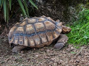 African spurred tortoise / sulcata tortoise (Geochelone sulcata) native to the southern edge of the Sahara desert, in northern Africa.