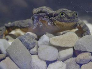 The amorous amphibian.