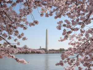 The Washington Monument is seen amid blooming cherry trees in Washington, D.C.