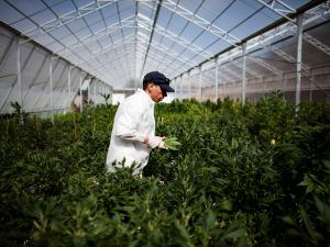 A worker at a cannabis greenhouse.