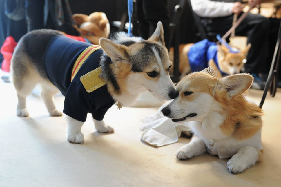 This Corgi Court Dressed Up Like the Royal Family