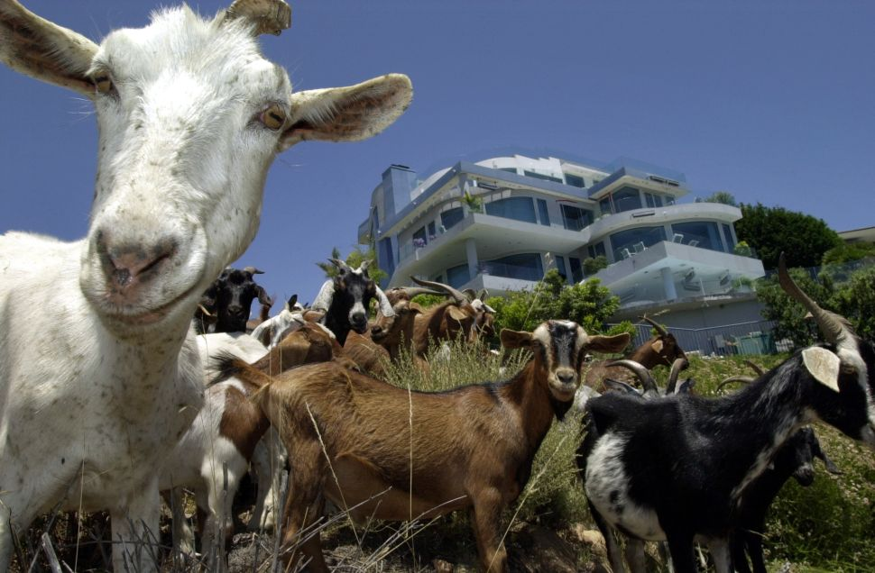 Dozens of Escaped Goats in Suburbia Make Twitter Briefly Forget About Trump Tweets
